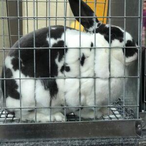 Open Rabbit Show Entry